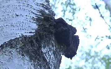 西伯利亚白桦茸原产地探秘 极寒气候极度稀缺