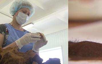 全球肿瘤形势严峻  俄罗斯探索白桦茸免疫疗法