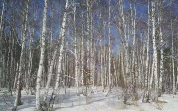 深入西伯利亚原始森林 采集野生白桦茸菌株困难多