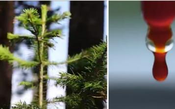 从人工种植到现代化萃取 三大突破成就西伯利亚冷杉精华