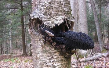 西伯利亚白桦茸跨境合作提速 药用真菌行业蓄势待发