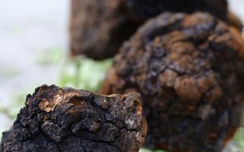十余年生长、六次低温萃取  西伯利亚白桦茸构筑品质新高度