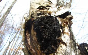 保留天然营养成分 西伯利亚白桦茸提取方法探秘
