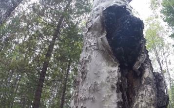 白桦茸质量与生长环境之间有啥联系?俄罗斯专家为你解答