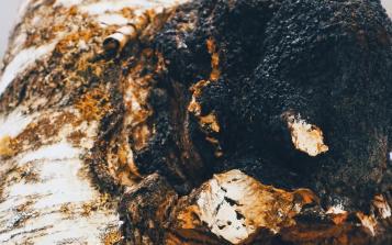 品鉴白桦茸,分享五个关于西伯利亚白桦茸的小秘密!