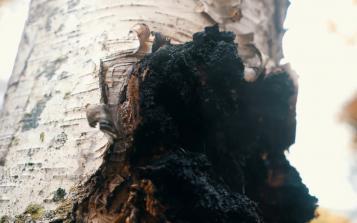 六大标准严选原料,西伯利亚白桦茸引领精致健康消费时代