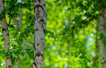 从西伯利亚白桦树到白桦茸:生命与精华的替代