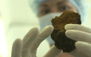 天然野生、多重健康价值,药用真菌白桦茸尤其适合这5类人